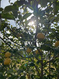 食べ物,空,太陽,晴れ,晴天,光,果物,レモン,食材