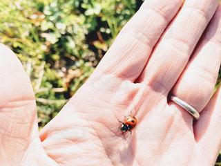 手乗せ てんとう虫の写真・画像素材[2938508]