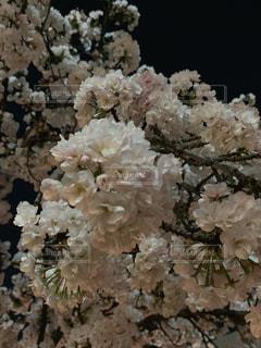 花,桜,夜桜,サクラ,満開,さくら,ブロッサム
