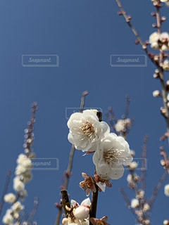 白梅の咲く空の写真・画像素材[3025266]