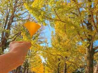 空,秋,紅葉,屋外,青空,葉っぱ,散歩,黄色,手,葉,手持ち,樹木,人物,イチョウ,銀杏,ポートレート,イエロー,黄,ライフスタイル,手元
