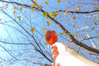 空,秋,紅葉,屋外,青空,葉っぱ,散歩,手,葉,オレンジ,落ち葉,手持ち,樹木,人物,ポートレート,ライフスタイル,手元