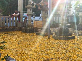 子ども,空,屋外,太陽,黄色,光,銀杏