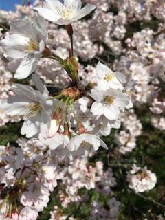 花,春,草木,桜の花,さくら,ブロッサム