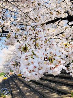 花,春,屋外,草木,桜の花,さくら,ブルーム,ブロッサム