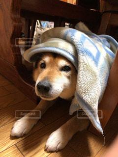 布団をかけた犬の写真・画像素材[3106726]