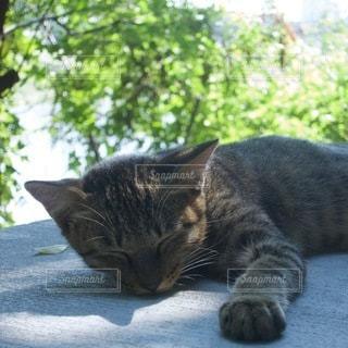 猫,動物,ペット,寝る,人物,ネコ