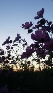 空,花,秋,太陽,コスモス,夕暮れ,夕方,光,逆光,草木