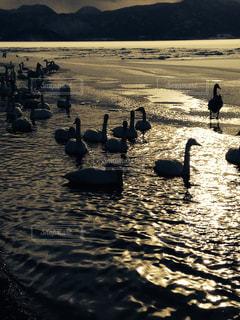 空,動物,鳥,太陽,夕暮れ,水面,海岸,北海道,光,スワン,ガチョウ