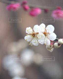 梅の写真・画像素材[3023764]
