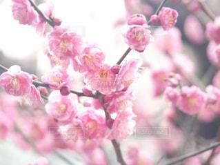 梅の写真・画像素材[3023766]