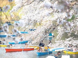 恋人,花,春,桜,木,屋外,ボート,水面,花見,樹木,お花見,イベント