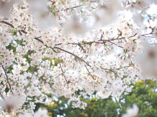 花,春,桜,木,花見,樹木,お花見,イベント