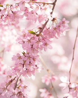 弘前公園の桜の写真・画像素材[3042754]