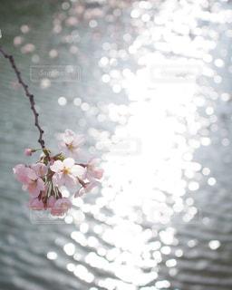 弘前公園の桜の写真・画像素材[3042755]