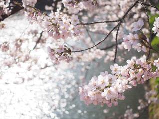 花,春,桜,木,水面,花見,お花見,イベント