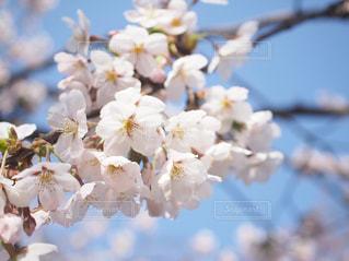 花,春,桜,木,花見,お花見,イベント,草木,桜の花,さくら,ブロッサム