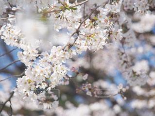 花,春,桜,木,花見,樹木,お花見,イベント,草木,桜の花