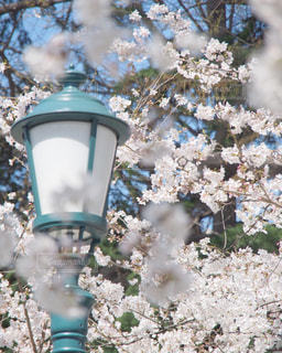 花,春,桜,木,花見,樹木,お花見,イベント,桜の花