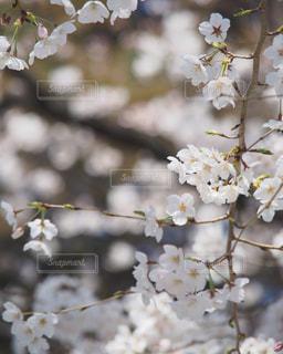 花,春,桜,木,枝,花見,お花見,イベント,草木,桜の花