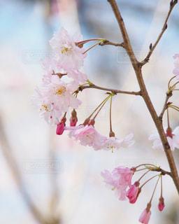 花,春,桜,木,ピンク,枝,花見,お花見,イベント,草木,桜の花