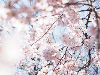 空,花,春,桜,木,花見,お花見,イベント,草木,桜の花,さくら,ブロッサム
