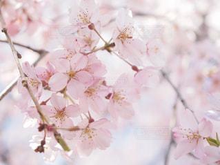 花,春,桜,木,ピンク,花見,お花見,イベント,草木,桜の花,さくら,ブロッサム