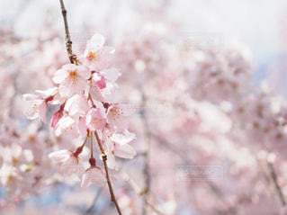 桜の写真・画像素材[3061251]
