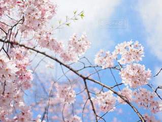 空,花,春,桜,木,花見,樹木,お花見,イベント,草木,桜の花,さくら