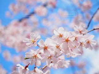 桜と空の写真・画像素材[3061253]