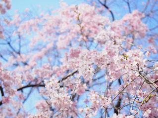 空,花,春,桜,木,枝,花見,鮮やか,樹木,お花見,イベント,草木,桜の花,さくら