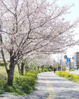 桜並木の写真・画像素材[3076000]