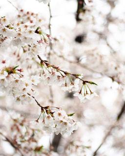 桜の花の写真・画像素材[3075997]