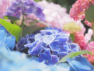 紫陽花の写真・画像素材[3418500]