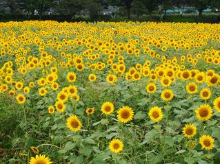 ひまわり畑の写真・画像素材[3514559]