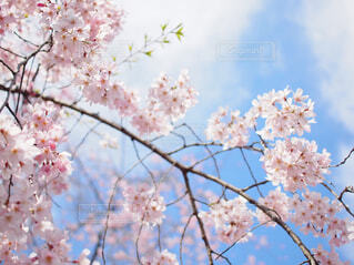 青空と桜の写真・画像素材[4270669]