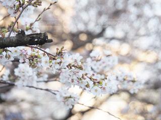 桜の木の写真・画像素材[4286696]