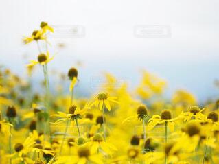 黄色い花畑の写真・画像素材[4314599]