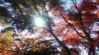 自然,空,秋,紅葉,森林,屋外,太陽,緑,赤,綺麗,黄色,幻想的,葉,もみじ,日光,デートスポット,光,樹木,ライトアップ,日本庭園,草木,小浜,雲仙,フォトスポット,インスタ映え,三十路苑,個人所有,六兵衛