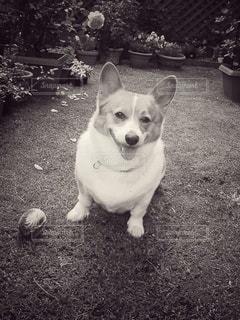 白い犬の写真・画像素材[2906455]