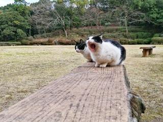 猫,公園,動物,屋外,森,白,ベンチ,2匹,景色,草,樹木,ペット,人物,あくび,木目,怪獣,ネコ,パンダ猫,親父ネコ