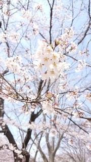 花,春,桜,花見,満開,さくら