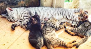 子猫母猫の写真・画像素材[1217652]