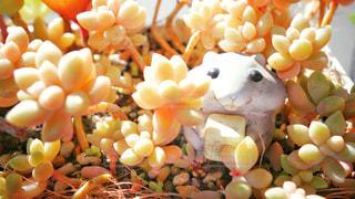 ハムスター,植物,茶色,観葉植物,ベージュ,多肉植物,多肉,ミルクティー色