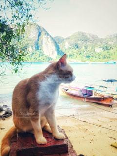 猫,海,夏,動物,海外,ビーチ,海辺,海岸,ペット,人物,タイ,ピピ島,ネコ