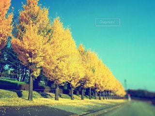 道路沿いの銀杏の写真・画像素材[2906497]