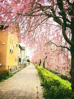 花,春,桜,道,歩道,さくら,ブロッサム