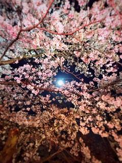 花,春,夜桜,月,桜の花,さくら,ブロッサム