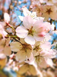 花,春,桜,ピンク,景色,草木,ブルーム,ブロッサム