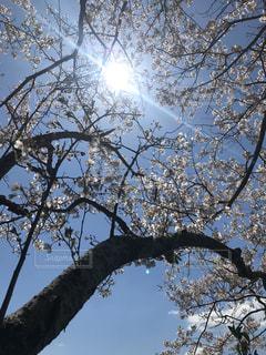 空,花,春,桜,森林,屋外,太陽,青い空,光,樹木